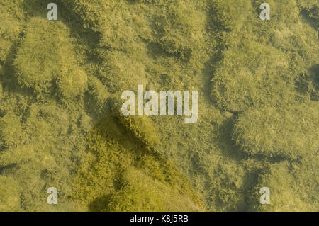 Riverbed of a small polluted stream undegoing eutrophication, covered by an overgrowth of algae - Stock Photo