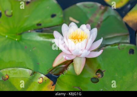 water lilly with flower, detailed image, southampton, ny - Stock Photo