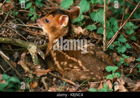 Reeve's Muntjac Deer or Barking Deer (Muntiacus reevesi).Hours old fawn. Spotted, cryptic, markings on coat. 'Dropped' - Stock Photo