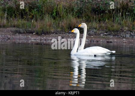 Two whooper swans swimming on calm lake. - Stock Photo