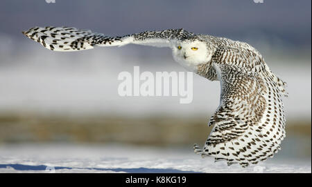 Close up action portrait of a snowy owl flying and looking at the camera with snow in the background. - Stock Photo