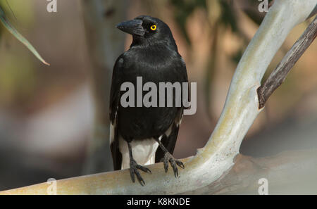 A Pied Currawong, Strepera graculina, perched on a gum tree branch in outback Western Queensland - Stock Photo