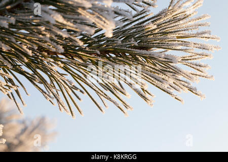 Pine details in the winter season. A few needles covered with white frost on the background of a blue sky on a sunny - Stock Photo