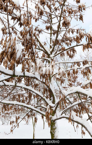 trees growing in the park, covered with snow after the last snowfall. Photo of plant branches, made a close-up in - Stock Photo