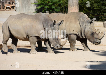 Madrid, Spain. 19th Sep, 2017. Two White rhinoceros (Ceratotherium simum) pictured at Madrid zoo. Credit: Jorge - Stock Photo