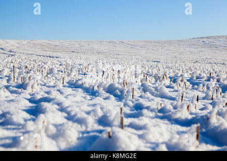 The stubble from the harvested wheat crop is covered with white snow drifts and balls with sharp thorns. photo on - Stock Photo