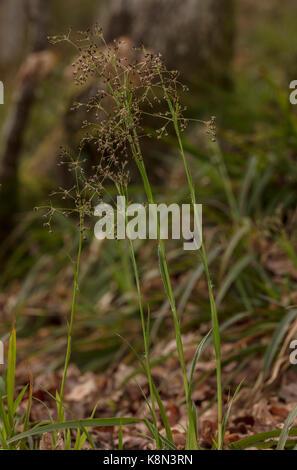 Greater wood-rush, Luzula sylvatica in woodland on Dartmoor, Devon. - Stock Photo