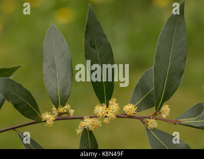 Sweet bay, Laurus nobilis, in flower in spring. Common culinary spice. - Stock Photo