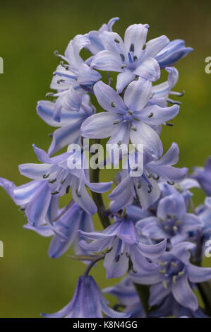 Spanish bluebell, Hyacinthoides hispanica, in flower in spring; garden. - Stock Photo