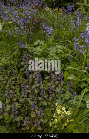 Common bugle, Ajuga reptans, in flower in spring, with primroses, hybrid Spanish Bluebell, etc in wildlife garden. - Stock Photo