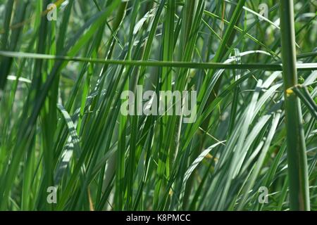 white feathers of a Pampas grass at lake garda in summer, cordaderia selloana and blue sky, silver pampas grass - Stock Photo