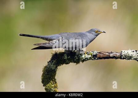 Cuckoo                           Cuculus canorus Male Cuckoo Perched On Moss Covered Branch, In Moorland, June, - Stock Photo