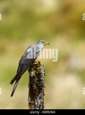 Cuckoo                           Cuculus canorus Male Cuckoo Perched On Dead Moss Covered Post, In Moorland, June, - Stock Photo