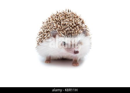 Hedgehog isolated on the White Background - Stock Photo