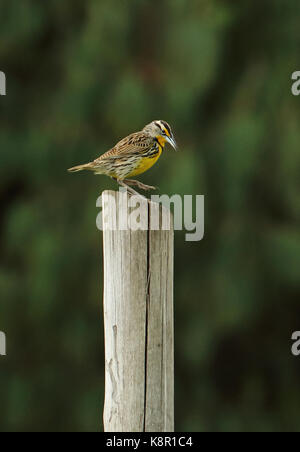 Eastern Meadowlark (Sturnella magna) adult standing on post  Bogota, Colombia        November - Stock Photo