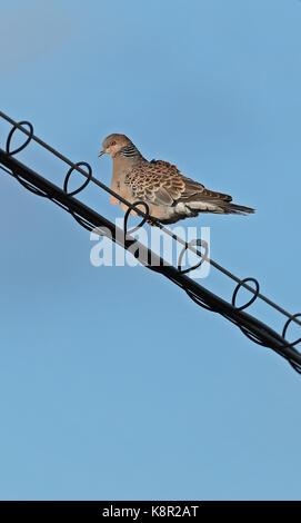 Oriental Turtle-dove (Streptopelia orientalis orientalis) adult perched on power-line  Choshi, Chiba Prefecture, - Stock Photo