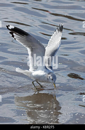 Kamchatka Gull (Larus canus camtschatchensis) adult in flight feeding at outflow of fish processing plant  Choshi; - Stock Photo
