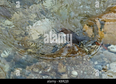 White-throated Dipper (Cinclus cinclus aquaticus) adult with damage to head in river  Mostar, Herzegovina, Bosnia - Stock Photo