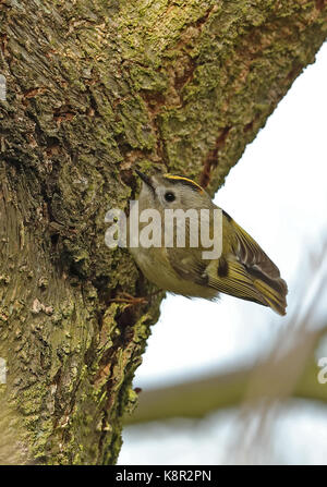 Goldcrest (Regulus regulus regulus) adult male foraging on tree trunk  Eccles-on-Sea, Norfolk      March - Stock Photo