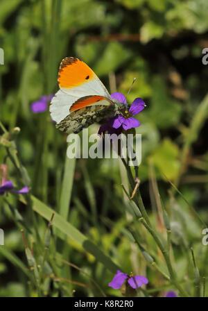 Orange-tip (Anthocharis cardamines britannica) adult male feeding at flower  Eccles-on-Sea, Norfolk         May - Stock Photo