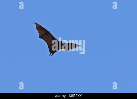 Christmas Island Flying-fox (Pteropus natalis) adult in flight, endangered species  Christmas Island, Australia - Stock Photo