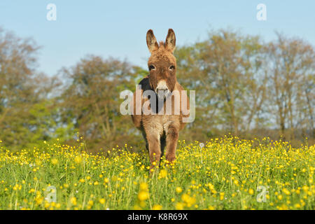 Donkey running in a meadow - Stock Photo
