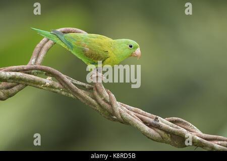 Orange-chinned Parakeet (Brotogeris jugularis), pair, Gamboa, Panama, November - Stock Photo