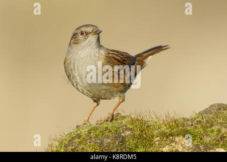 Dunnock (Prunella modularis) adult perched on moss covered stone, South Norfolk, UK. January. - Stock Photo
