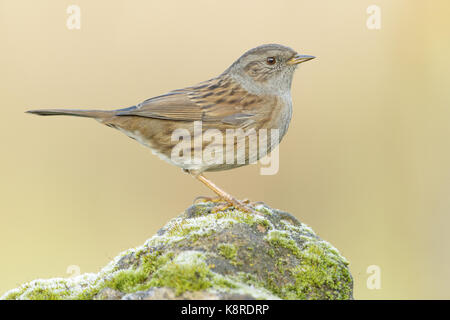 Dunnock (Prunella modularis) adult perched on moss covered stone, South Norfolk, UK. November. - Stock Photo