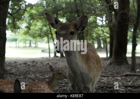 Wild Deer in Nara Park - Stock Photo