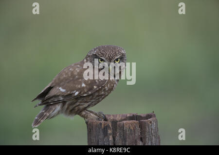 Little Owl portrait (Athene noctua), Hortoba'gy National Park, Hungary - Summer