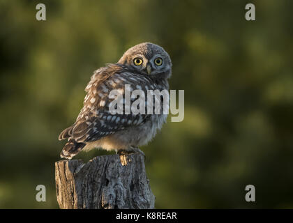 Young Owl little (Athene noctua) sitting on tree stump in evening light, Hortob'gy National Park, Hungary, June