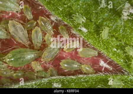 Glasshouse-potato aphid, Aulacorthum solani, colony on the flower bud of a hibiscus house plant - Stock Photo