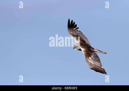 Marsh Harrier male flying at Deepdale Marsh Norfolk. - Stock Photo