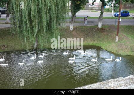 Group of white swans on the lake of the Fagaras Fortress. Transylvania, Romania - Stock Photo