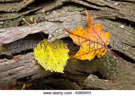 A single maple leaf with a lone aspen leaf are caught in the bark of a fallen tree in early autumn within the Pike - Stock Photo