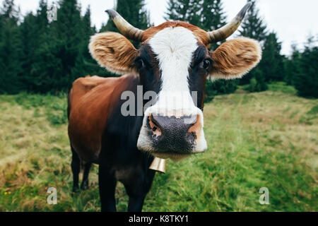 Funny cow on a meadow in forest. Animal background - Stock Photo