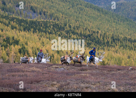 tsaatan family bringing firewood from a forest on reindeer - Stock Photo