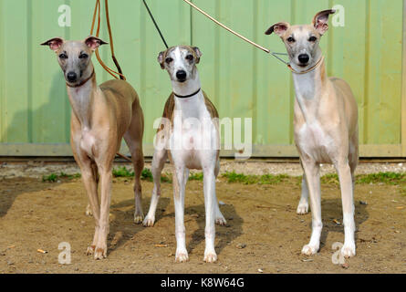 Three whippets on leads standing together at a dog show for pedigree breeds looking straight into the camera and - Stock Photo