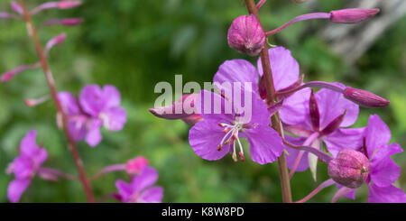 The first flower of a fireweed heralds the size and shape what the remaining buds will turn into. - Stock Photo