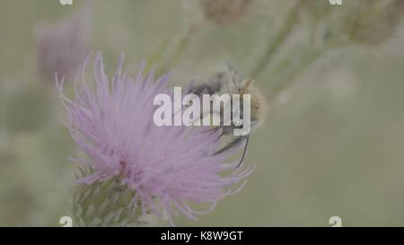 A beautiful wild bumblebee gathering honey from marsh thistle flower. Macro. Bee on a pink flower Field thistle. - Stock Photo