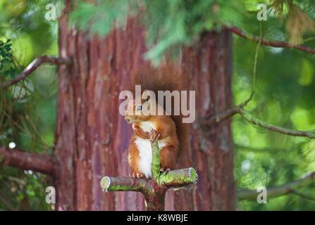 Frontal shot of one very cute eurasian red squirrel sitting on a cross shaped cut red wood tree branch looking towards - Stock Photo