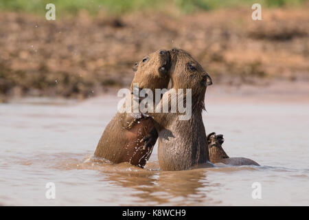 Baby Capybaras playing on the water, in North Pantanal, Brazil - Stock Photo