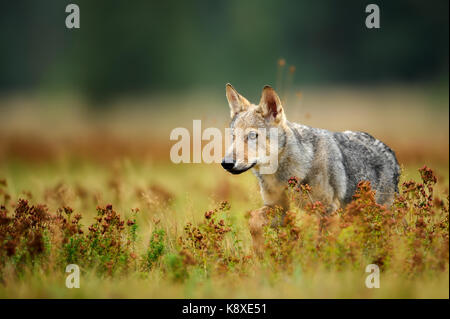 Wolf cub staring in colorful grass - Stock Photo