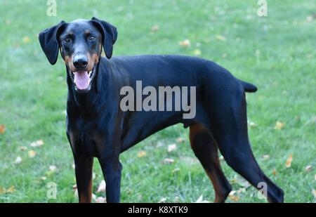 4 Year Old Doberman Pinscher - Stock Photo