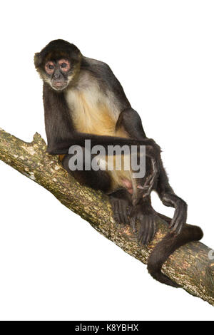 Geoffroy's spider monkey (Ateles geoffroyi) sitting on the tree, cutout,  Belize, Central America - Stock Photo