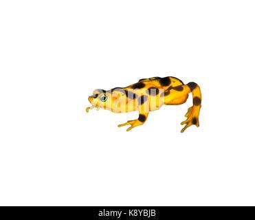 Panamanian golden frog (Atelopus zeteki) is ready to jump - Stock Photo