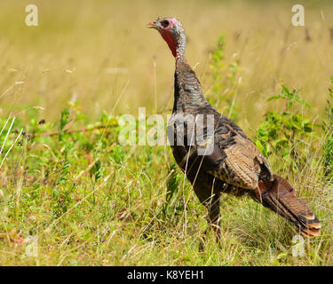 Alert wild eastern turkey hen (Meleagris gallopavo) standing in a field. - Stock Photo
