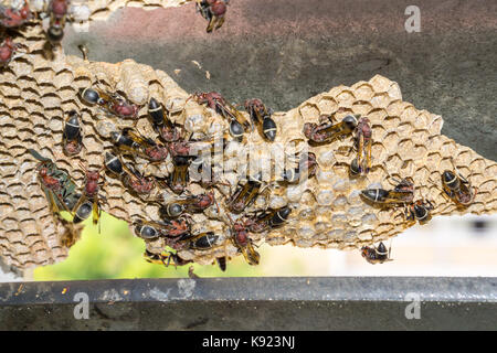 Wasp nest with wasps sitting on it. Wasps polist. - Stock Photo