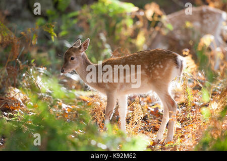 Close up, side view of beautiful fallow deer fawn standing in UK woodland in autumn sunshine, foraging in undergrowth. - Stock Photo